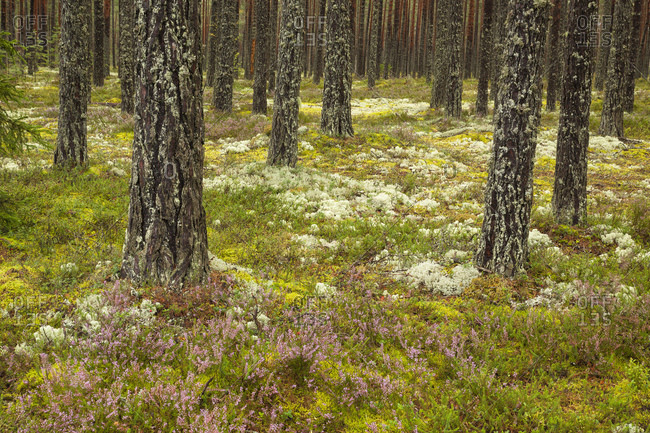 Dru boreal forest in Lahemaa National Park. Dry boreal forests are pure pine forests with cowberry growing under the pines in drier and more nutrient-poor place