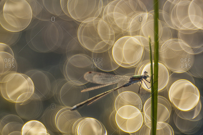 Azure damselfly at Mannikjarve bog, Endla Nature Reserve, central Estonia. The Endla nature reserve protects a fresh-water system of mires, bogs, springs and rivulets.