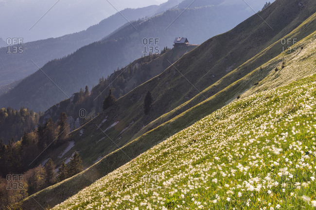 Blooming of wild daffodils in Golica mount, Slovenia, Europe, Upper Carniola