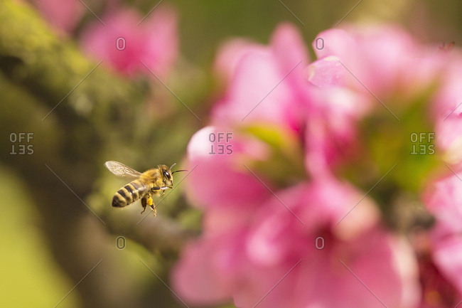 Bee in flight over a pink flower, Udine, Friuli Venezia Giulia, Italy