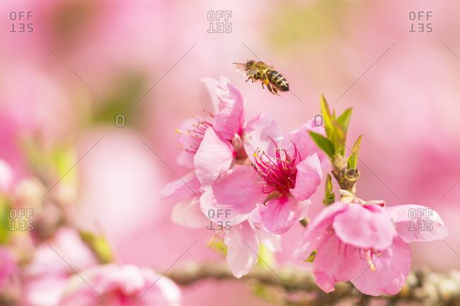 Bee in flight over a pink flower, Udine, Friuli Venezia Giulia, Italy