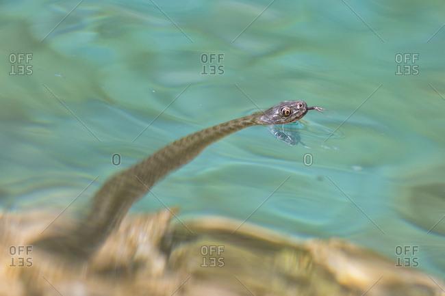 Snake, Natrix tessellata, in the lake, Udine, Friuli Venezia Giulia, Italy