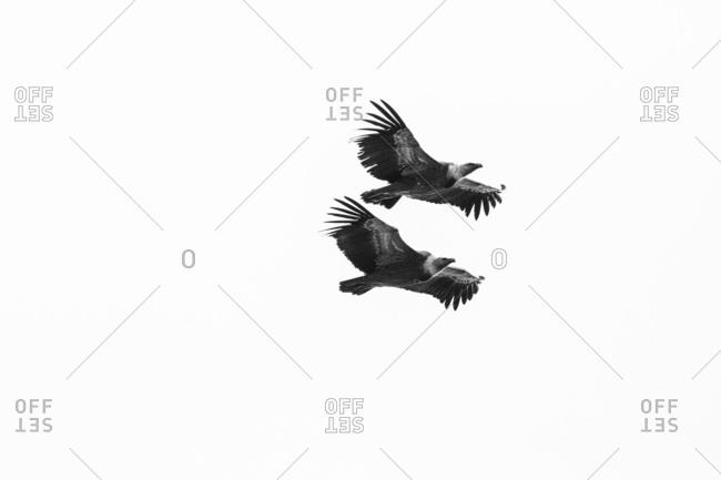 Pair of griffon vulture (Gyps fulvus) on flight, Udine, Friuli Venezia Giulia, Friuli, Italy