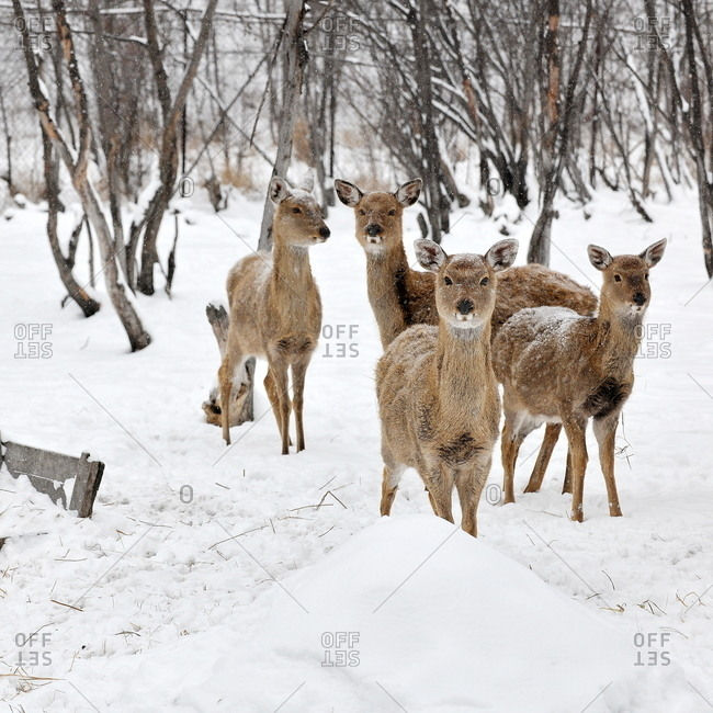 Pere David's Deer walking in the winter in Hulunbuir, China