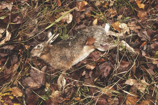 A dead jackrabbit shot at a wild hunt