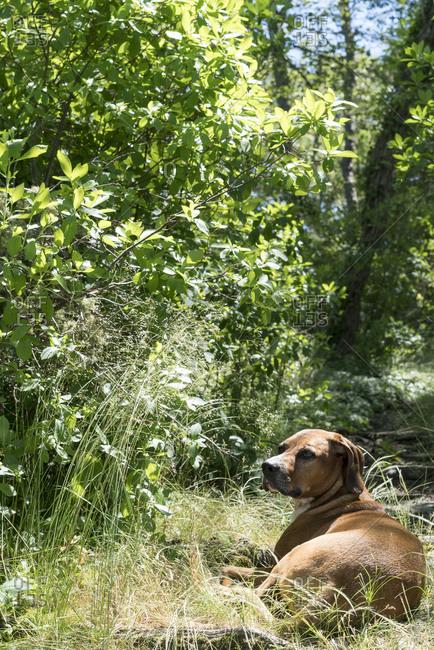 Dog lying in brush outside