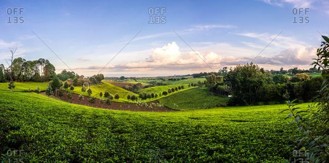 Tea field near Nairobi, Kenya