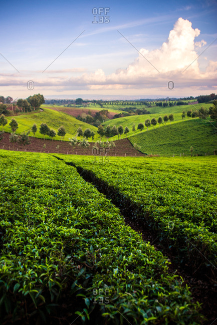 Tea field near Nairobi, Kenya