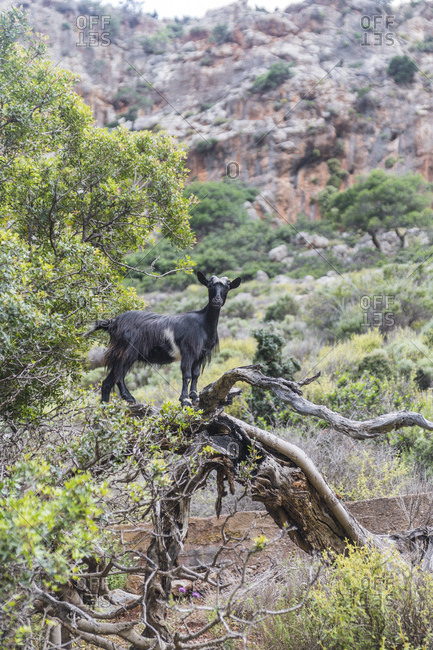 Greece- Crete- Kato Zakros- Gorge of the Dead- goat on tree