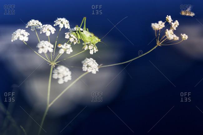 Grasshopper Isophya pyrenea and bee on flower