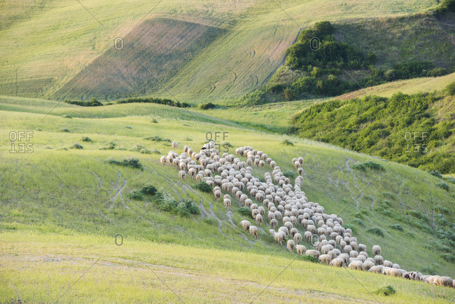 Italy- Tuscany- Val d'Orcia- flock of sheep grazing in meadow