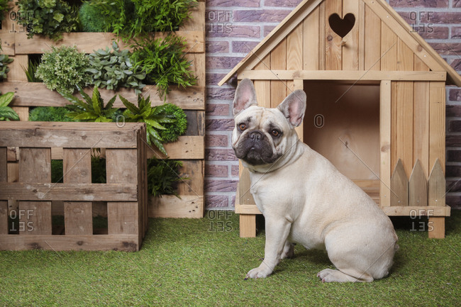 Portrait of french bulldog with dog house and vertical garden