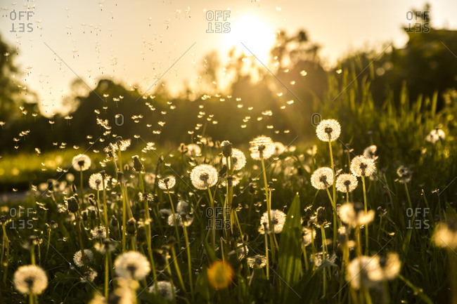 Germany- Bavaria- Summer meadow in evening light
