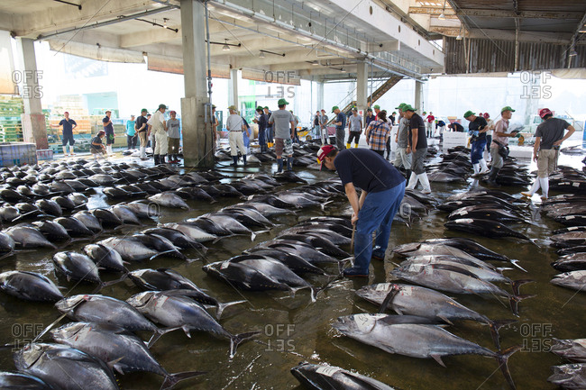 July 12, 2017 - Katsuura, Japan: Auctioneers and buyers at tuna auction