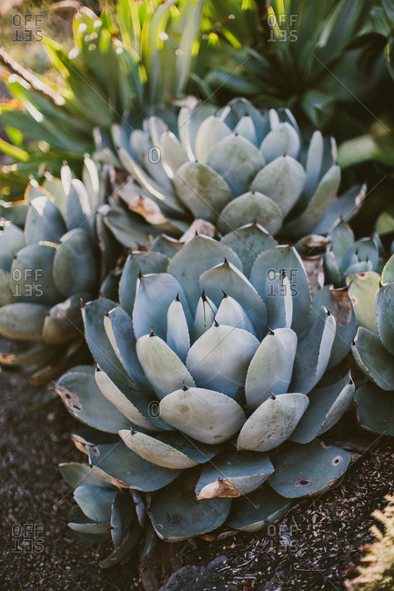 Agave succulent in a garden