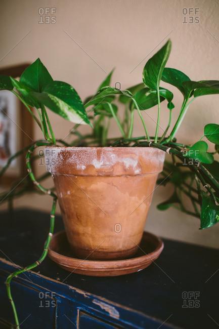 Leafy plant in terra cotta pot
