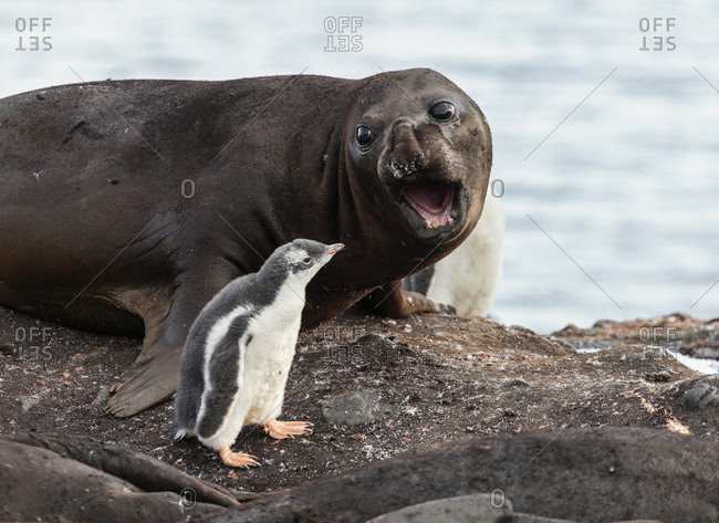 Symbiosis between seal elephant and penguin