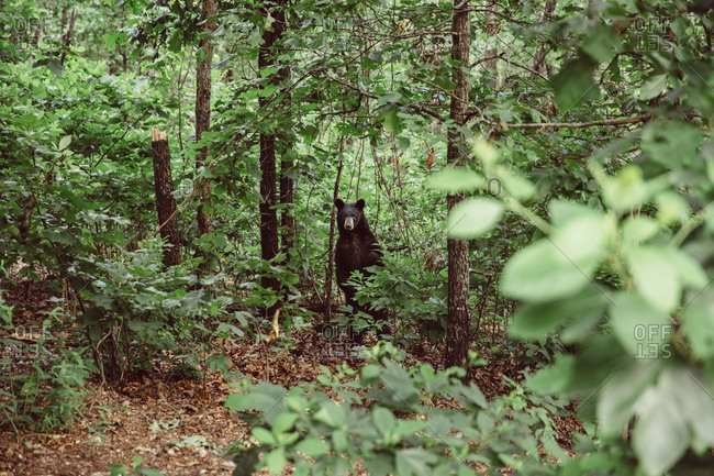 Bear stands in forest staring at camera