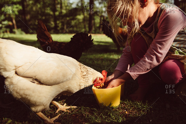 A girl scoops food for chickens