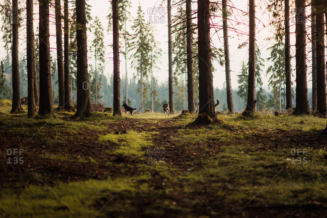 Dogs running through the woods