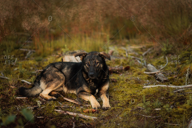 Dog lying down in the wilderness
