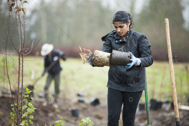 Vancouver, British Columbia, Canada - October 31, 2014: A young woman planting shrubs in parkland