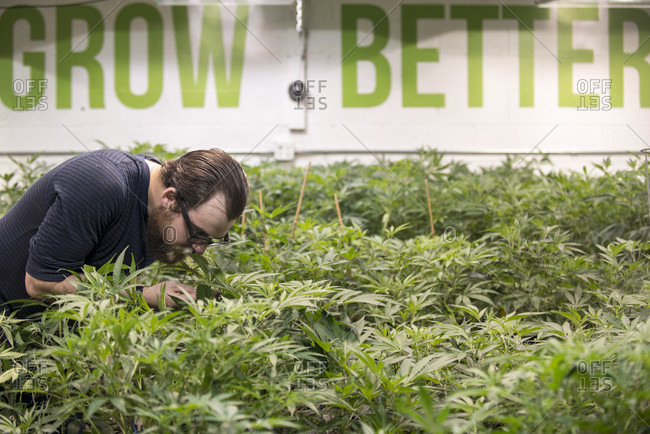 Denver, Colorado, United States - April 5, 2016: Denver, colorado- joey jene smelling and inspecting the trichomes of a medical marijuana plant at rx green solutions grow facility.