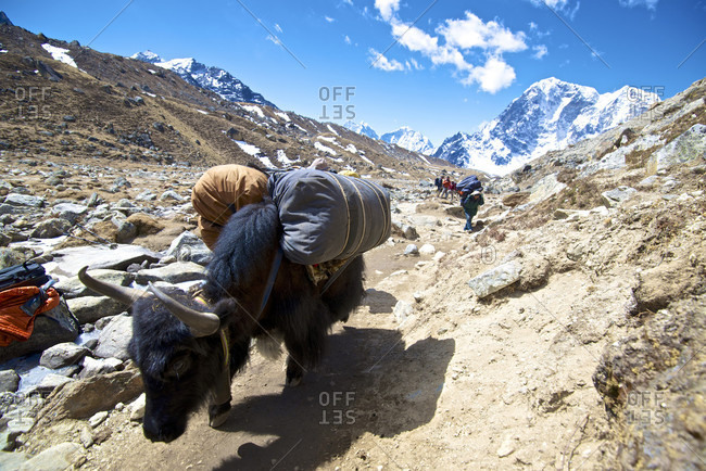 Mount Everest, Khumbu, Nepal - April 17, 2013: Yaks loaded with supplies to mount everest base camp in the khumbu region