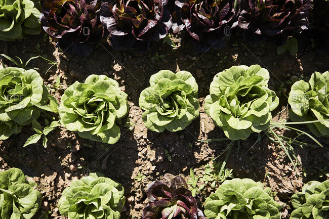 Overhead view of rows of lettuce