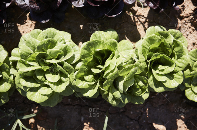 Close-up of heads of green lettuce