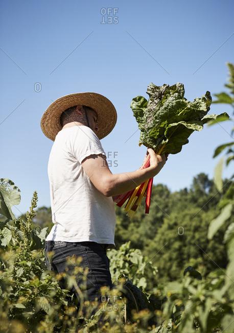 Man picking a bunch of Swiss chard