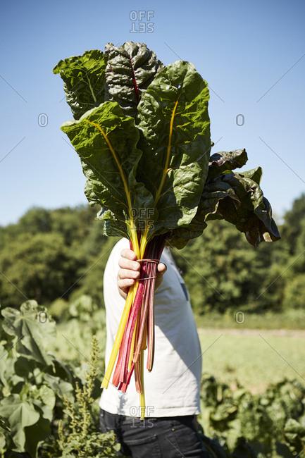 Farmer holding bunch of rainbow chard