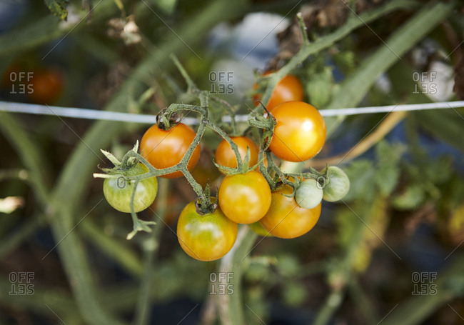 Ripening cherry tomatoes on plant