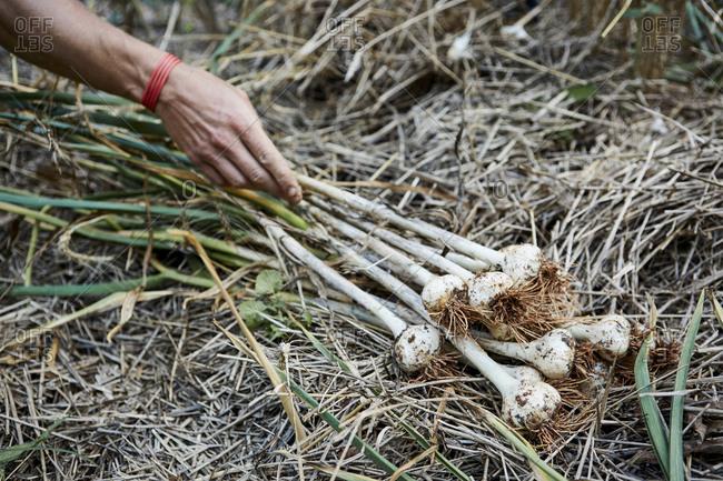 Farm worker picking garlic