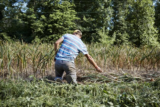 Farmer pulling up garlic plants in field