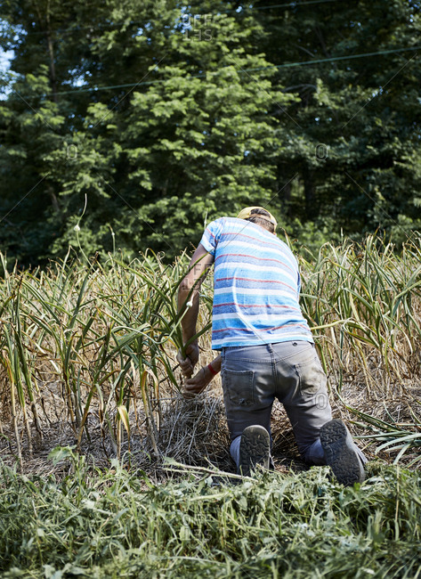Farmer harvesting garlic in field