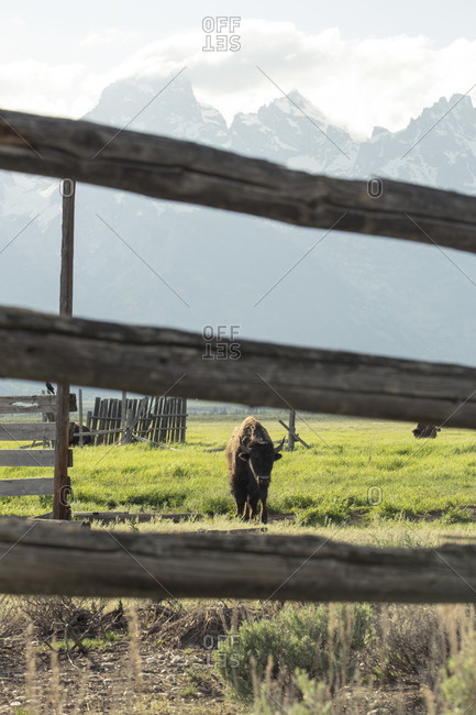 A bison grazes in a wooden fenced pasture with the Grand Teton Mountain range in the distance.