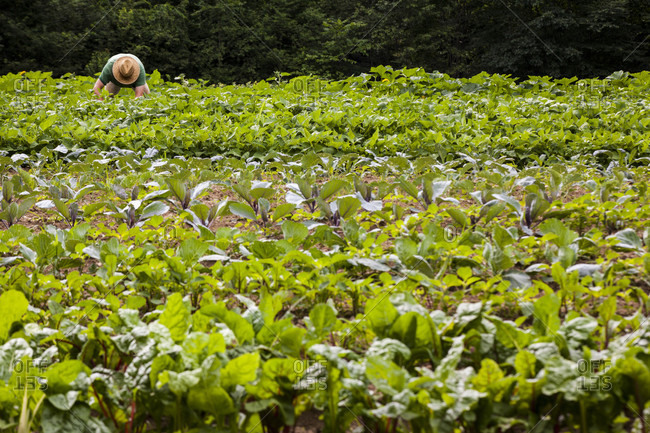 A farmer bends over to harvest vegetables among rows of green.
