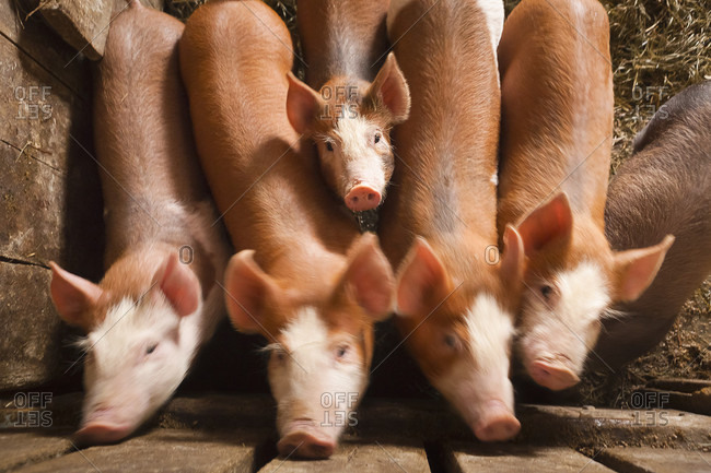 A small pig holds still to look at the camera as it tries to squeeze in among a line of its larger siblings.