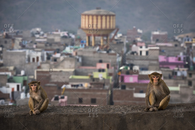 Monkeys sitting on a wall overlooking the city of Jaipur, India.
