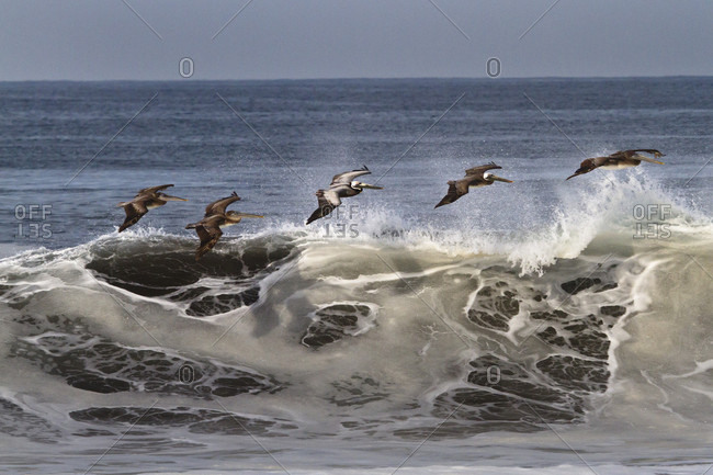 A squadron of Brown Pelicans (Pelecanus Occidentalis) glide in a single file line just above crashing waves at Boca de Pascuales, Colima,  Mexico.
