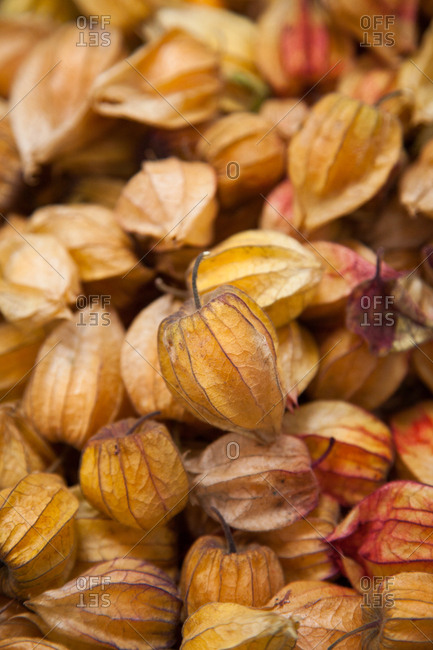 Physalis fruits in close up