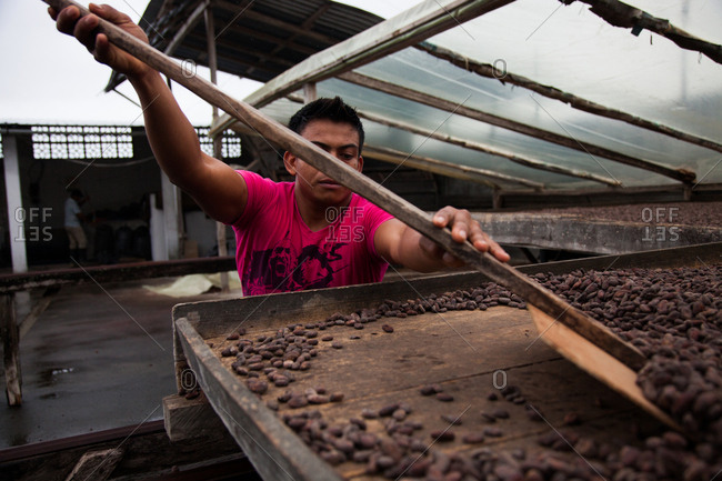 Ecuador - January 6, 2013: Man working with cocoa beans