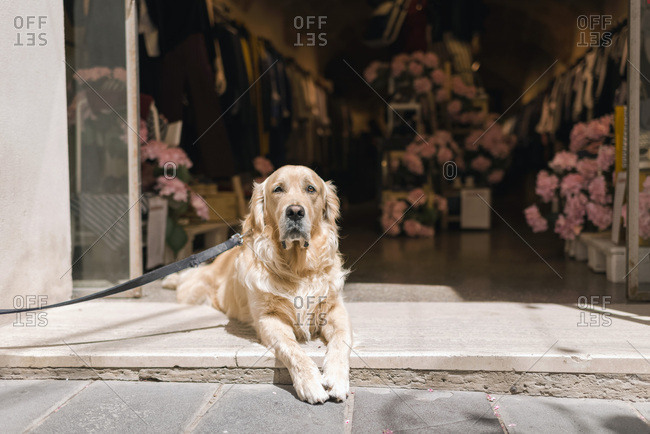 Golden retriever dog lying in front of an open store
