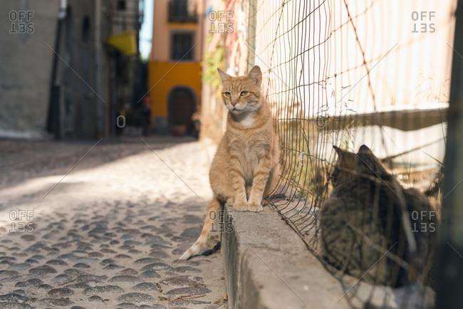 Ginger stray cat sitting in street near fence in Bosa