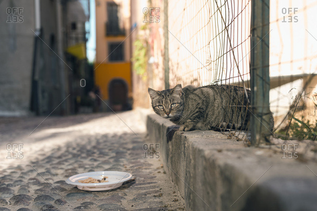 Tabby stray cat crawling through fence towards plate with food in Bosa