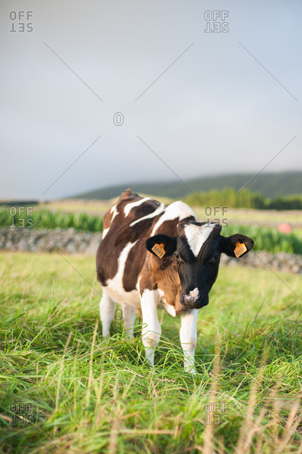 Cow with ear tags standing in a grassy pasture