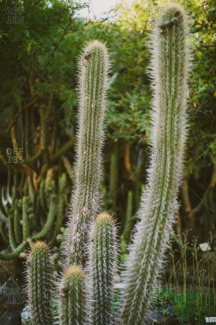 Tall cactus plant in botanical garden