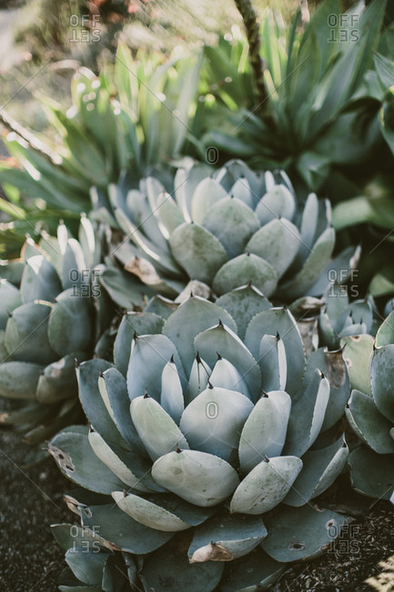 Succulent agave plants in a cactus garden