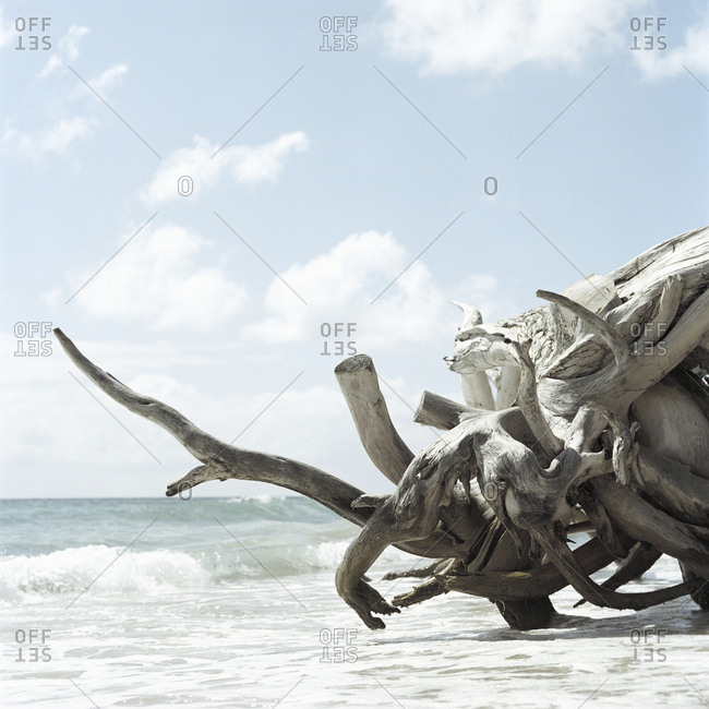 Gnarled roots of a log washed up on beach